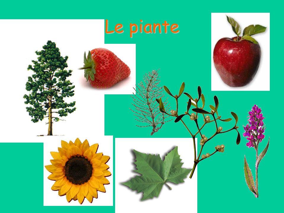 La foglia Gli stomi controllano la traspirazione, cioè la perdita di acqua dalle foglie e da altre parti aeree della pianta.
