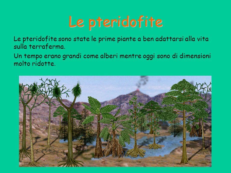 Le pteridofite Le pteridofite sono state le prime piante a ben adattarsi alla vita sulla terraferma. Un tempo erano grandi come alberi mentre oggi son