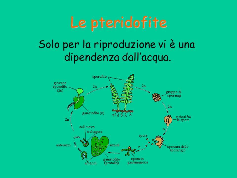 Le pteridofite Solo per la riproduzione vi è una dipendenza dallacqua.