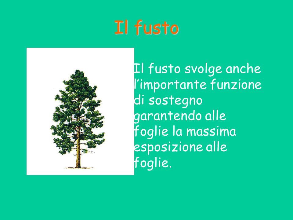 Il fusto Il fusto svolge anche limportante funzione di sostegno garantendo alle foglie la massima esposizione alle foglie.