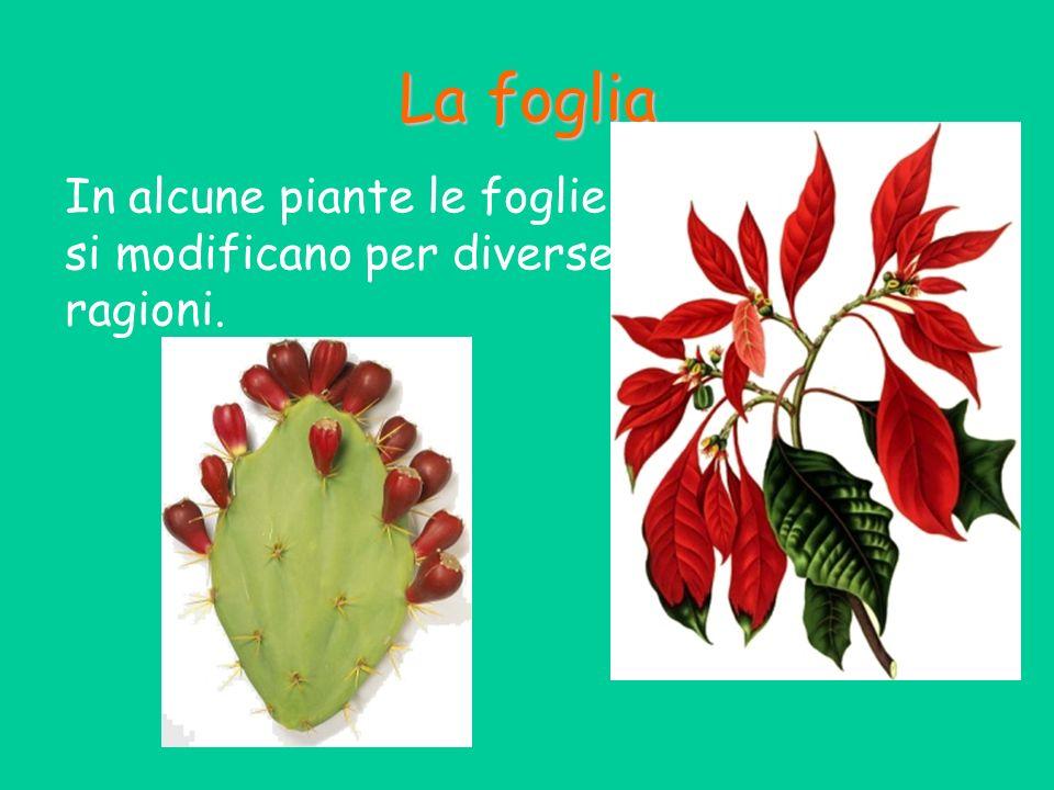 La foglia In alcune piante le foglie si modificano per diverse ragioni.