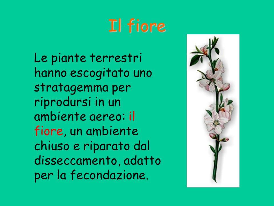 Il fiore Le piante terrestri hanno escogitato uno stratagemma per riprodursi in un ambiente aereo: il fiore, un ambiente chiuso e riparato dal dissecc