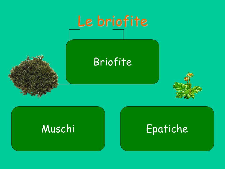 Le briofite Le briofite sono piante antiche, che si originarono da alghe verdi che riuscirono ad adattarsi alla terraferma.