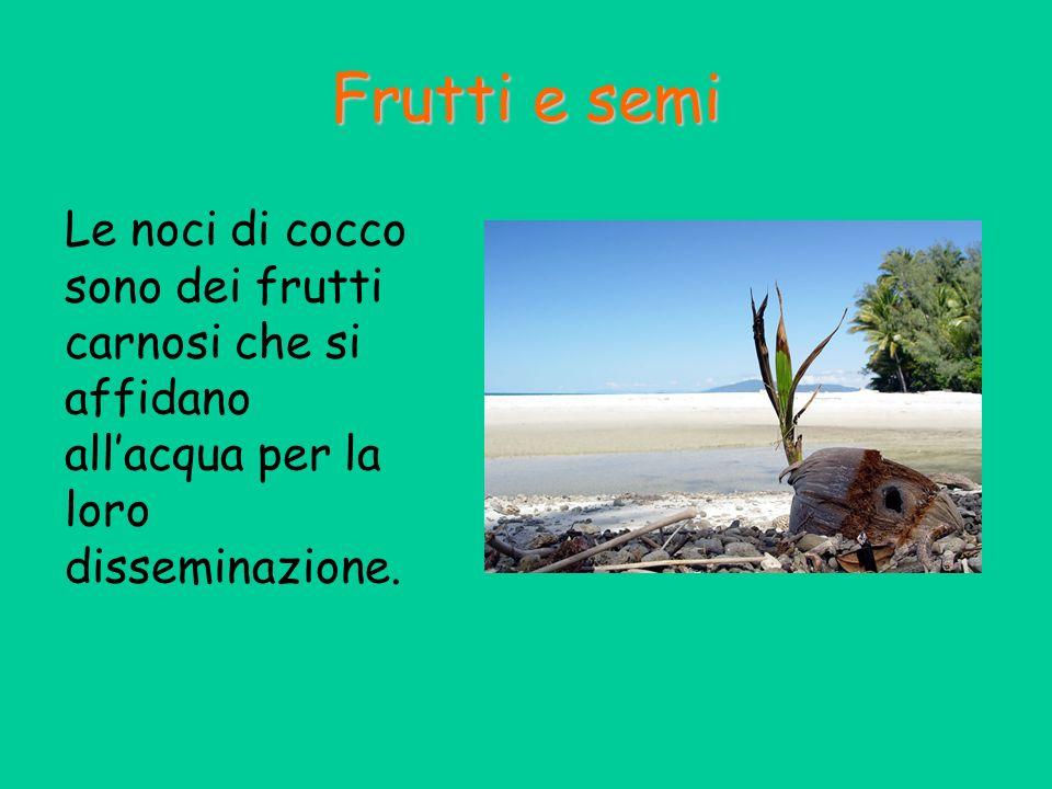 Le noci di cocco sono dei frutti carnosi che si affidano allacqua per la loro disseminazione. Frutti e semi