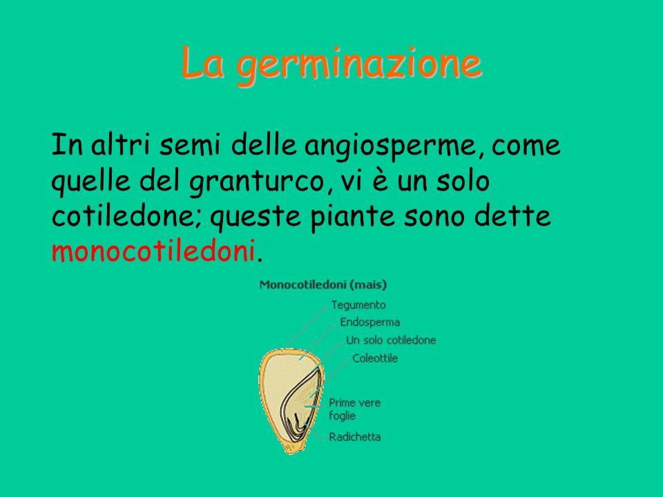 In altri semi delle angiosperme, come quelle del granturco, vi è un solo cotiledone; queste piante sono dette monocotiledoni. La germinazione
