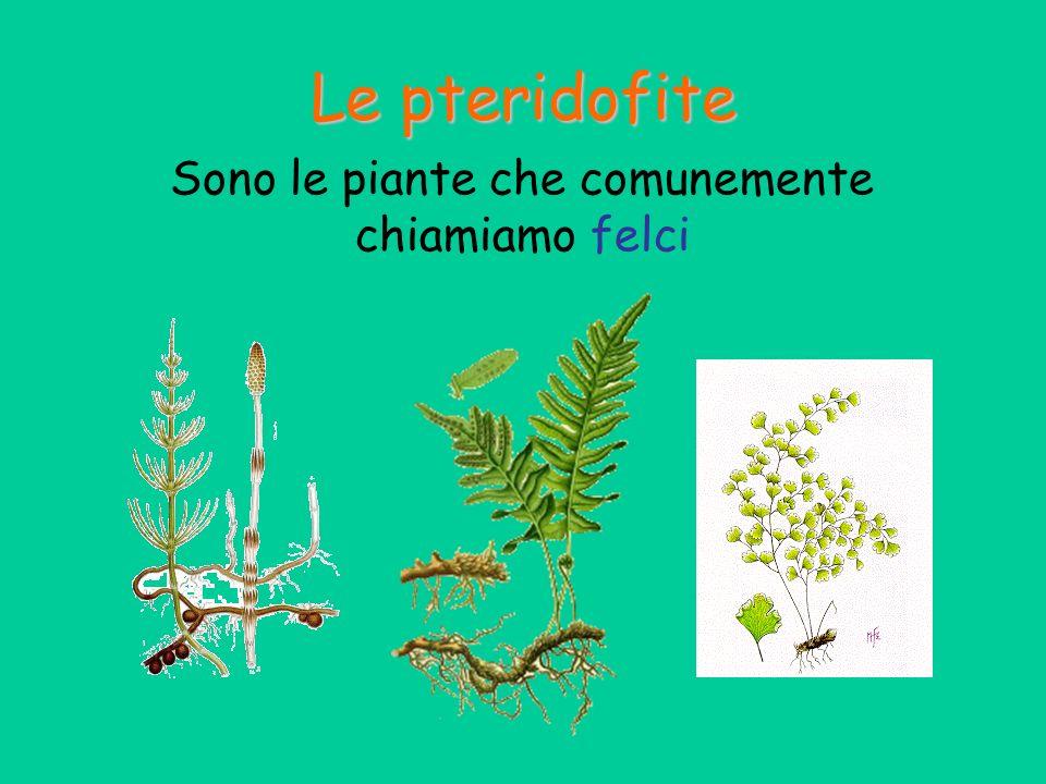 Le pteridofite Le pteridofite sono state le prime piante a ben adattarsi alla vita sulla terraferma.