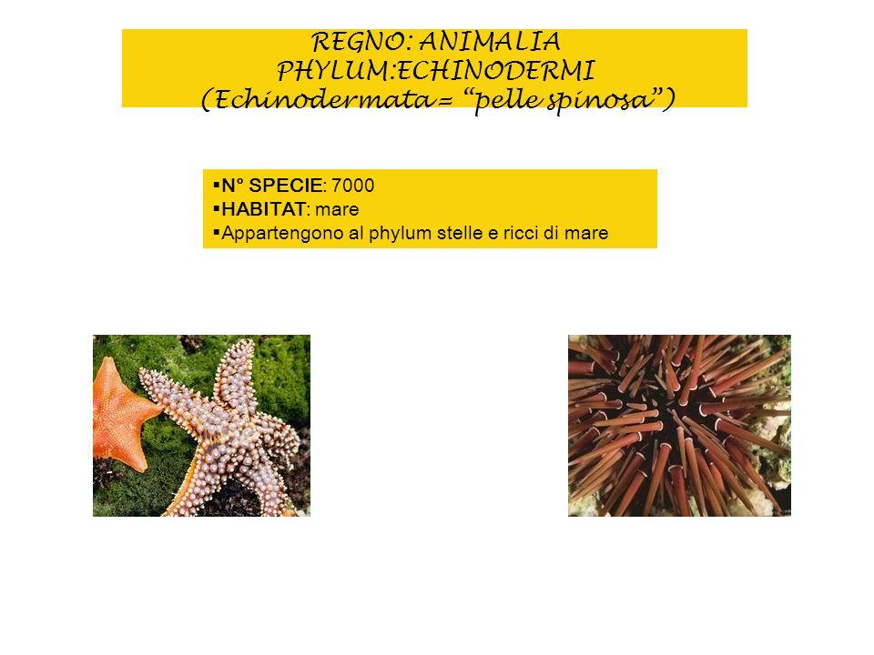 REGNO: ANIMALIA PHYLUM:ECHINODERMI (Echinodermata = pelle spinosa) N° SPECIE: 7000 HABITAT: mare Appartengono al phylum stelle e ricci di mare