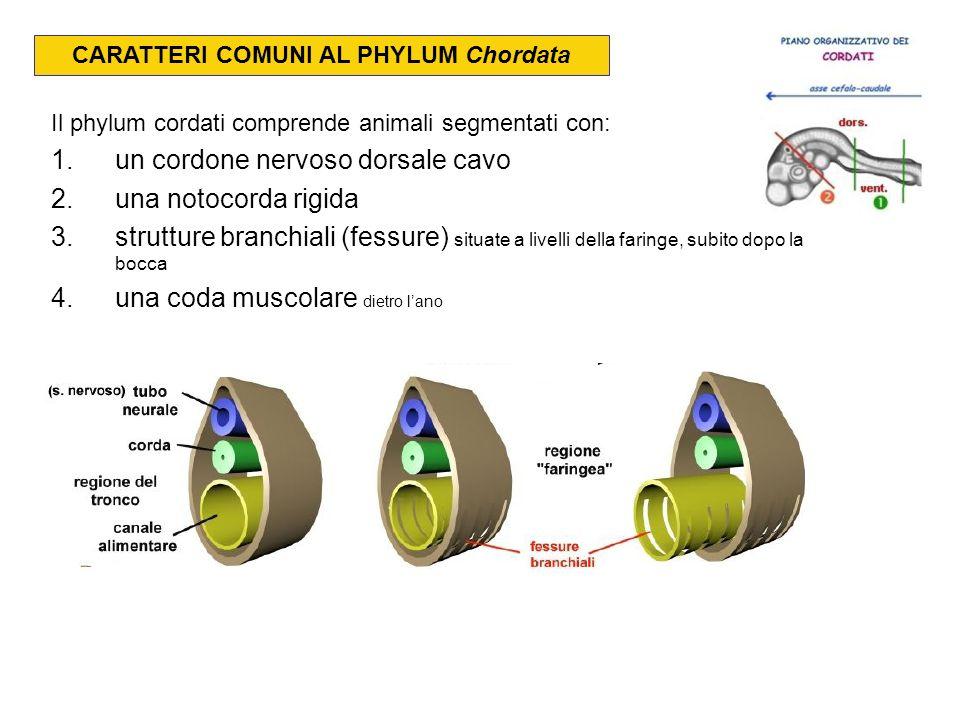 CARATTERI COMUNI AL PHYLUM Chordata Il phylum cordati comprende animali segmentati con: 1.un cordone nervoso dorsale cavo 2.una notocorda rigida 3.str