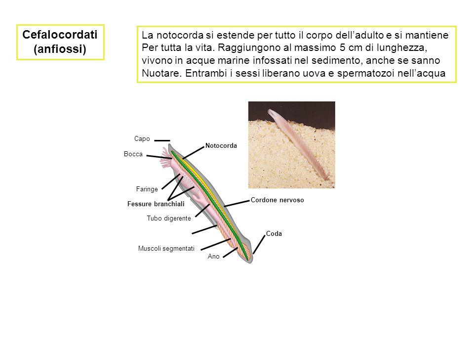 Cefalocordati (anfiossi) Capo Bocca Faringe Fessure branchiali Tubo digerente Muscoli segmentati Ano Coda Cordone nervoso Notocorda La notocorda si es
