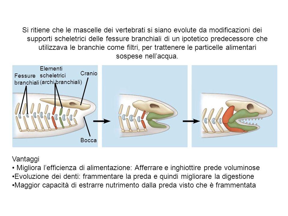 Fessure branchiali Elementi scheletrici (archi branchiali) Cranio Bocca Si ritiene che le mascelle dei vertebrati si siano evolute da modificazioni de