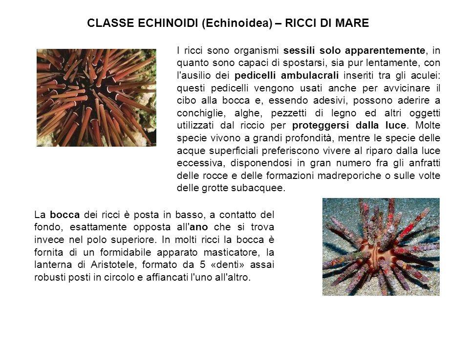 CLASSE ECHINOIDI (Echinoidea) – RICCI DI MARE I ricci sono organismi sessili solo apparentemente, in quanto sono capaci di spostarsi, sia pur lentamen