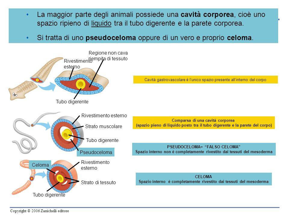 Copyright © 2006 Zanichelli editore 1.rende più flessibile il corpo dellanimale e contribuisce al movimento (strisciare, scavare), funzionando da scheletro idrostatico 2.permette agli organi viscerali di crescere e muoversi indipendentemente dalla parete del corpo 3.protegge gli organi interni dagli urti, compressioni, colpi 4.favorisce la circolazione delle sostanze nutritive e dellossigeno in tutto il corpo 5.contribuisce alleliminazione delle sostanze di rifiuto VANTAGGI DERIVATI DALLA PRESENZA DEL CELOMA