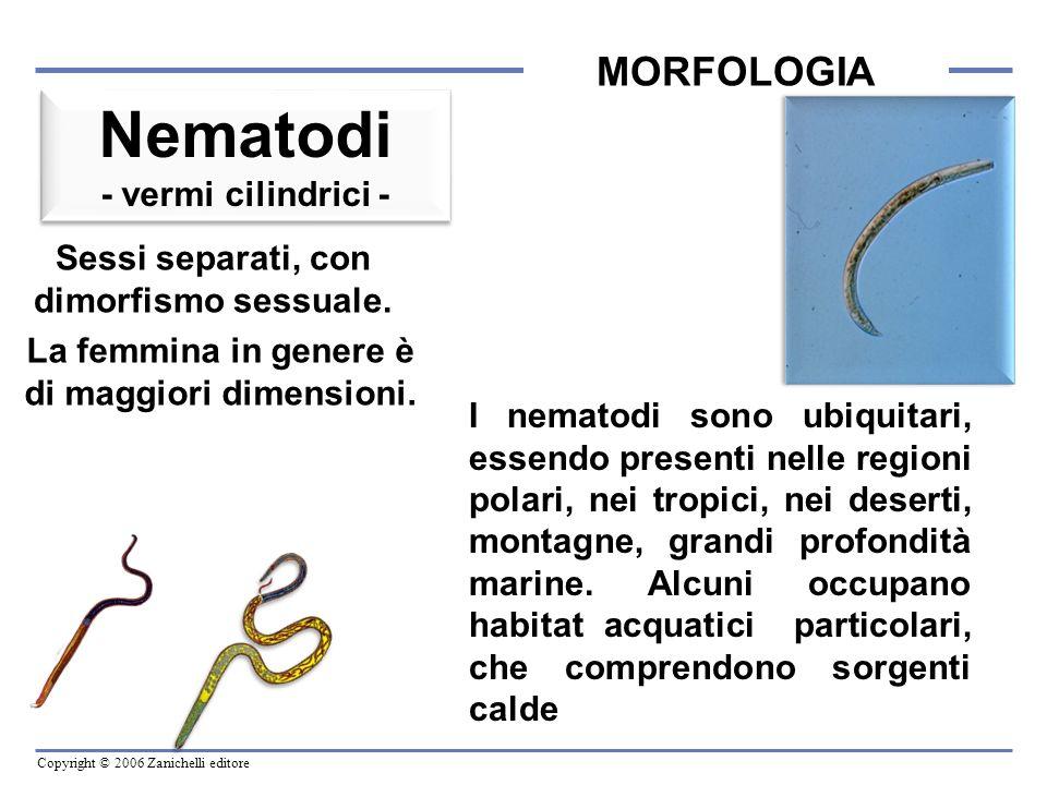 Copyright © 2006 Zanichelli editore MORFOLOGIA La cavità centrale Accoglie: 1.Lapparato digerente.