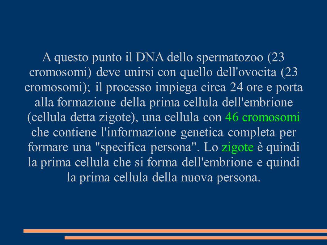 A questo punto il DNA dello spermatozoo (23 cromosomi) deve unirsi con quello dell'ovocita (23 cromosomi); il processo impiega circa 24 ore e porta al