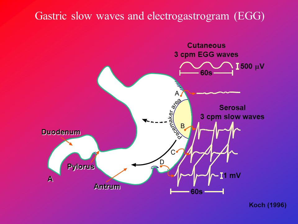 Gastric slow waves and electrogastrogram (EGG) Fundus Corpus Antrum 60s 500 V Cutaneous 3 cpm EGG waves Serosal 3 cpm slow waves 60s 1 mV Duodenum Pyl