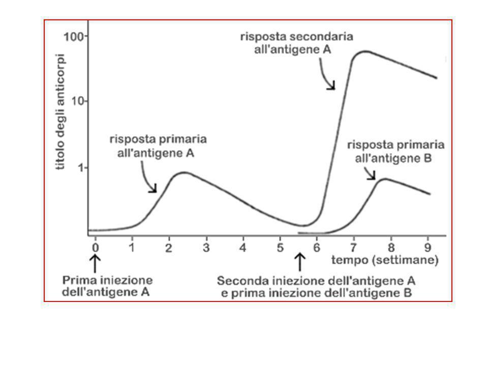 Anticorpi (Ab) o immunoglobuline(Ig) Struttura anticorpo(le estremità delle linee rosa sono occupate dallo S) Catene leggere di due tipi o k o fab Fc