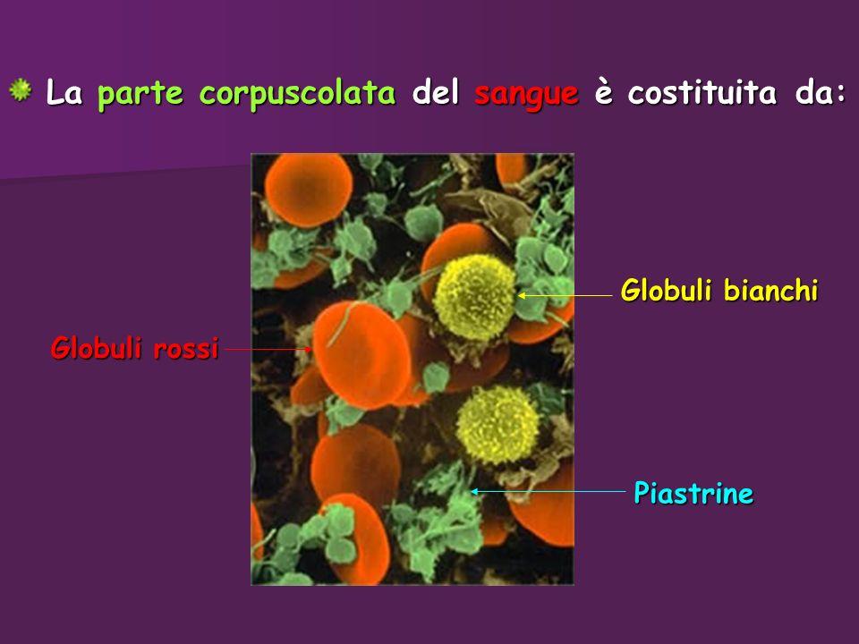 La parte corpuscolata del sangue è costituita da: La parte corpuscolata del sangue è costituita da: Piastrine Globuli bianchi Globuli rossi