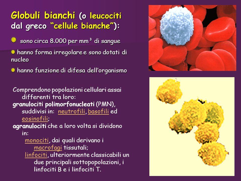 Globuli bianchi (o leucociti dal greco cellule bianche): sono circa 8.000 per mm³ di sangue sono circa 8.000 per mm³ di sangue hanno forma irregolare