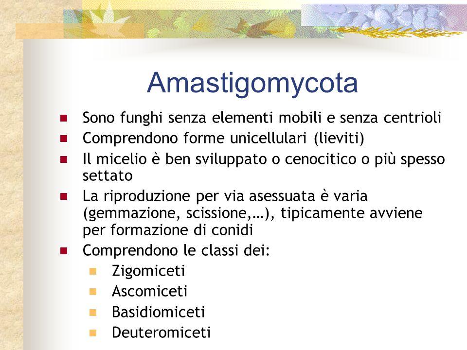 Amastigomycota Sono funghi senza elementi mobili e senza centrioli Comprendono forme unicellulari (lieviti) Il micelio è ben sviluppato o cenocitico o