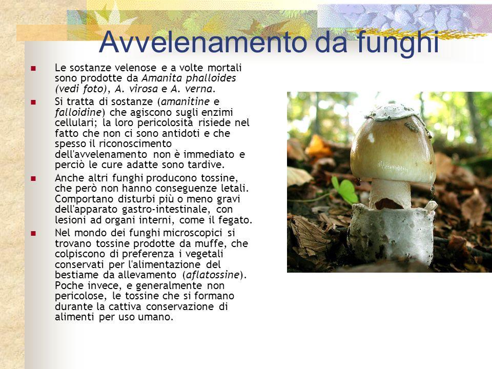 Avvelenamento da funghi Le sostanze velenose e a volte mortali sono prodotte da Amanita phalloides (vedi foto), A. virosa e A. verna. Si tratta di sos