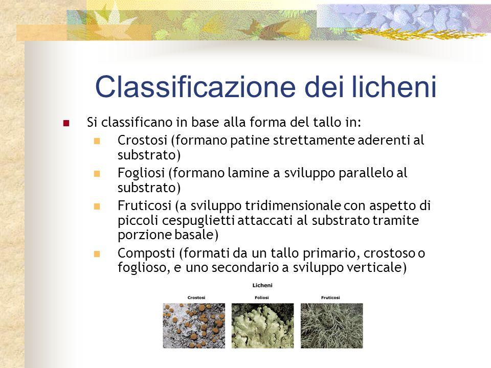 Classificazione dei licheni Si classificano in base alla forma del tallo in: Crostosi (formano patine strettamente aderenti al substrato) Fogliosi (fo