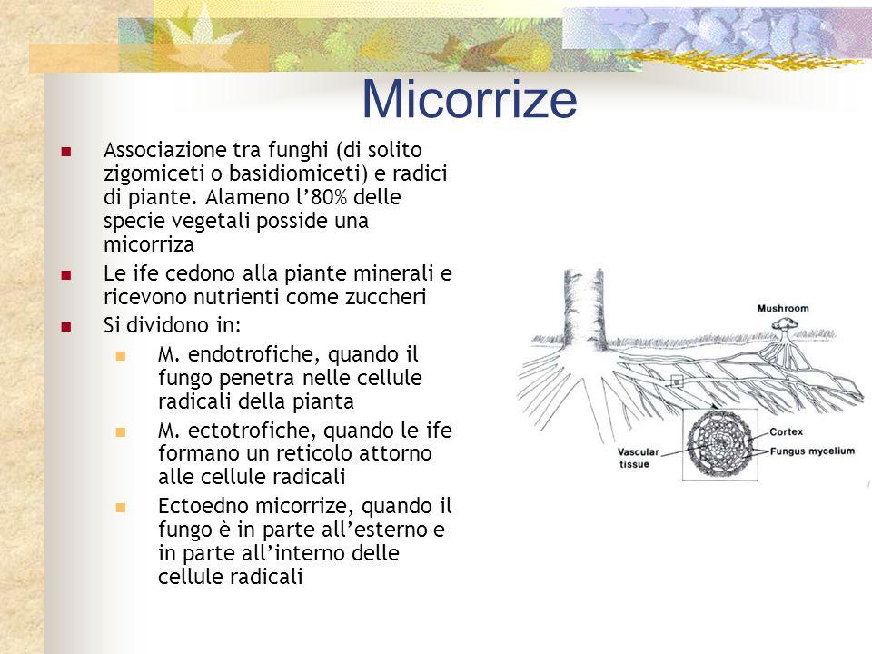 Micorrize Associazione tra funghi (di solito zigomiceti o basidiomiceti) e radici di piante. Alameno l80% delle specie vegetali posside una micorriza