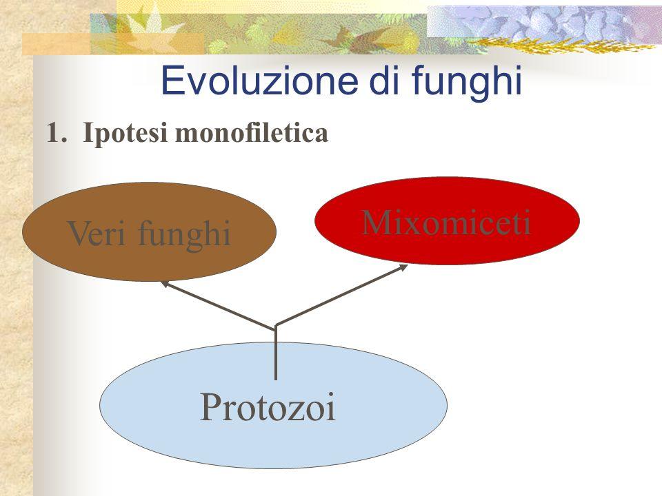 1. Ipotesi monofiletica Protozoi Veri funghi Mixomiceti Evoluzione di funghi