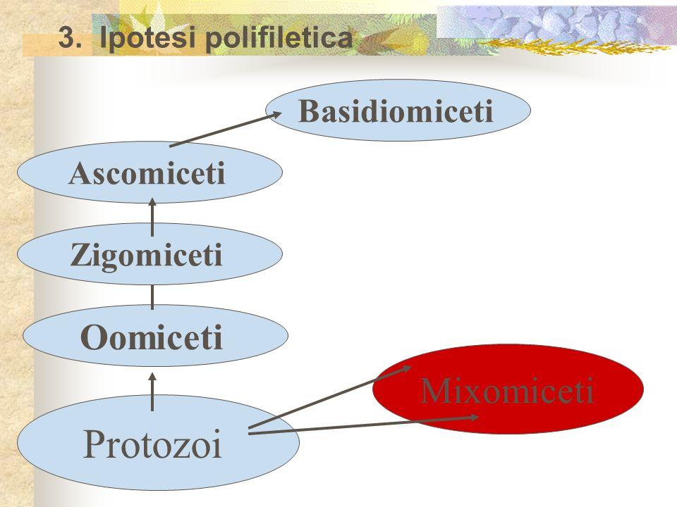 3. Ipotesi polifiletica Protozoi Mixomiceti Oomiceti ZigomicetiAscomicetiBasidiomiceti