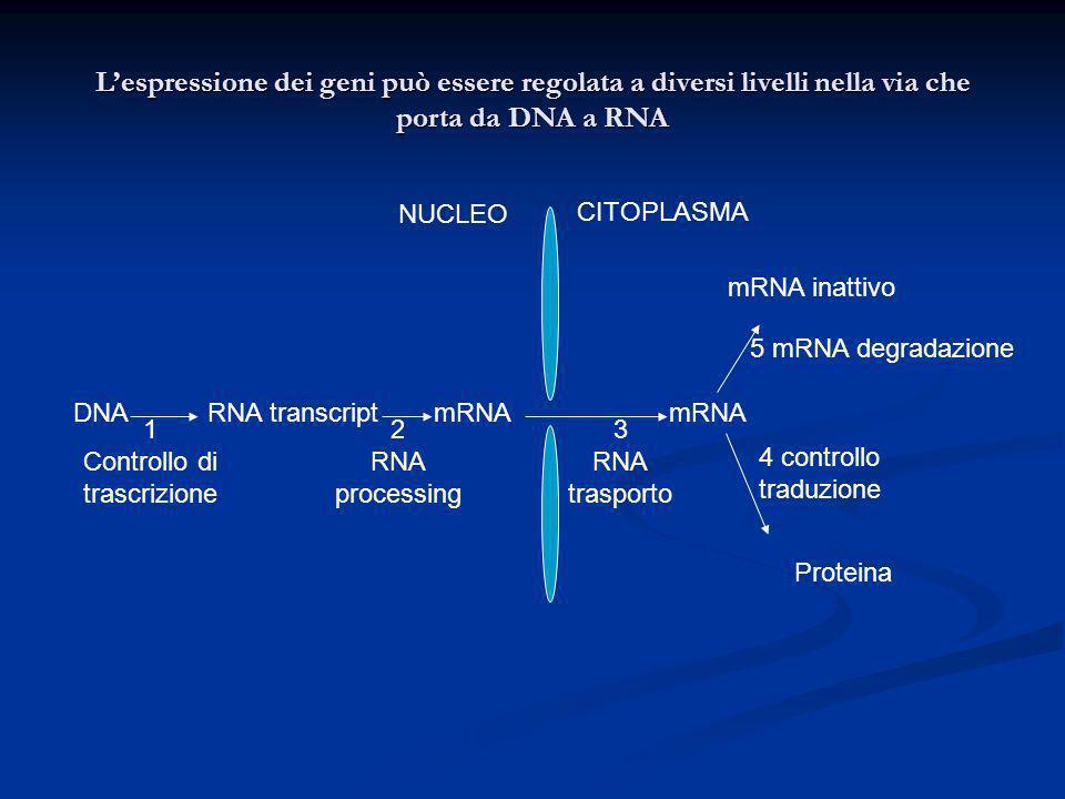 Lespressione dei geni può essere regolata a diversi livelli nella via che porta da DNA a RNA DNARNA transcriptmRNA mRNA inattivo Proteina NUCLEO CITOP