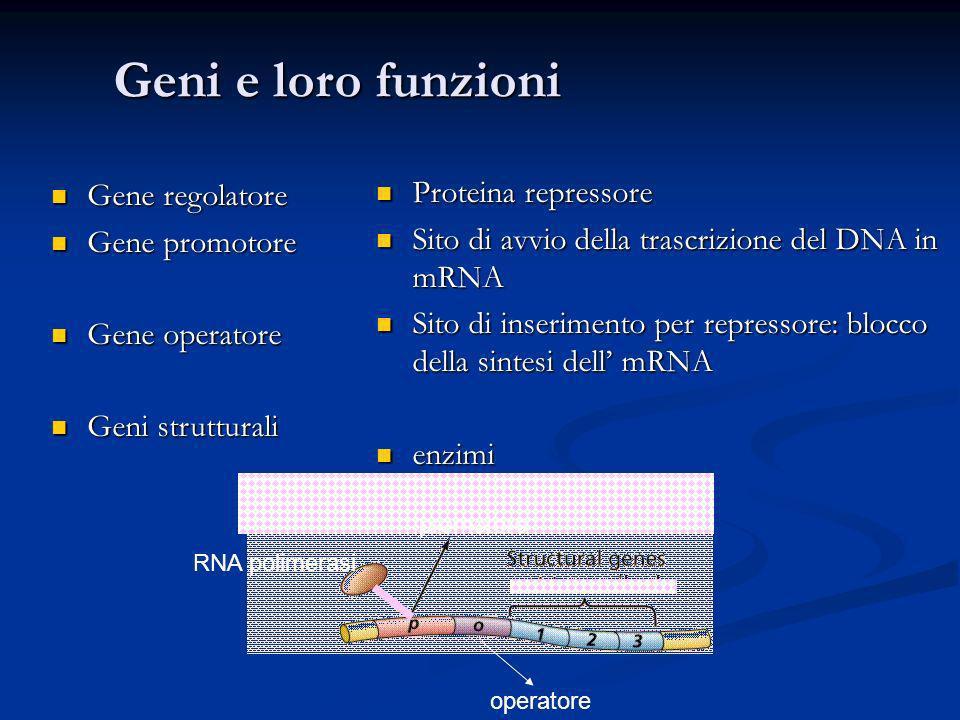 Geni e loro funzioni Gene regolatore Gene regolatore Gene promotore Gene promotore Gene operatore Gene operatore Geni strutturali Geni strutturali Pro