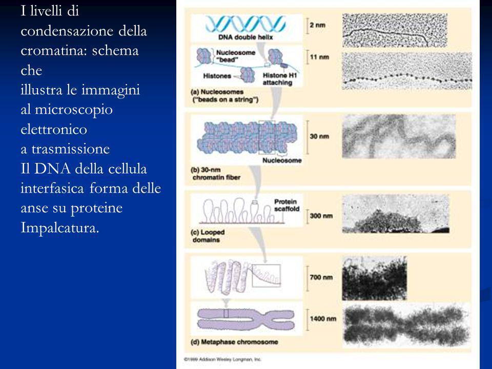 I livelli di condensazione della cromatina: schema che illustra le immagini al microscopio elettronico a trasmissione Il DNA della cellula interfasica