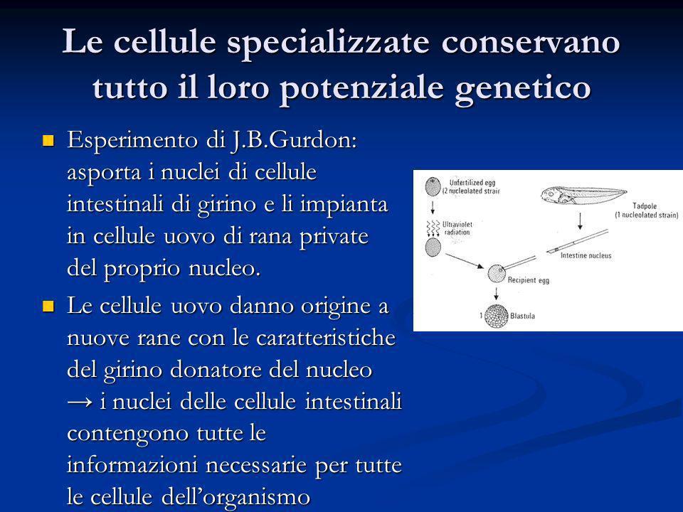 Le cellule specializzate conservano tutto il loro potenziale genetico Esperimento di J.B.Gurdon: asporta i nuclei di cellule intestinali di girino e l