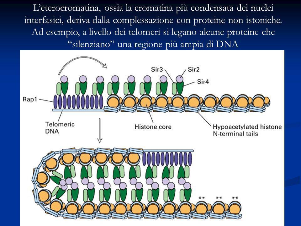 Leterocromatina, ossia la cromatina più condensata dei nuclei interfasici, deriva dalla complessazione con proteine non istoniche. Ad esempio, a livel