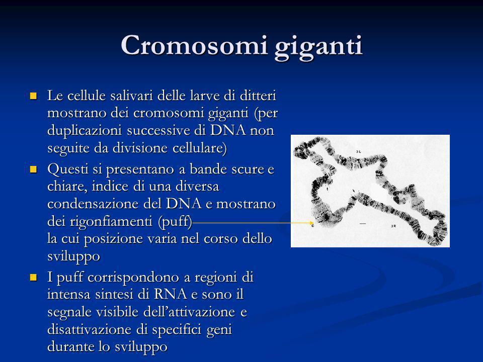 Cromosomi giganti Le cellule salivari delle larve di ditteri mostrano dei cromosomi giganti (per duplicazioni successive di DNA non seguite da divisio