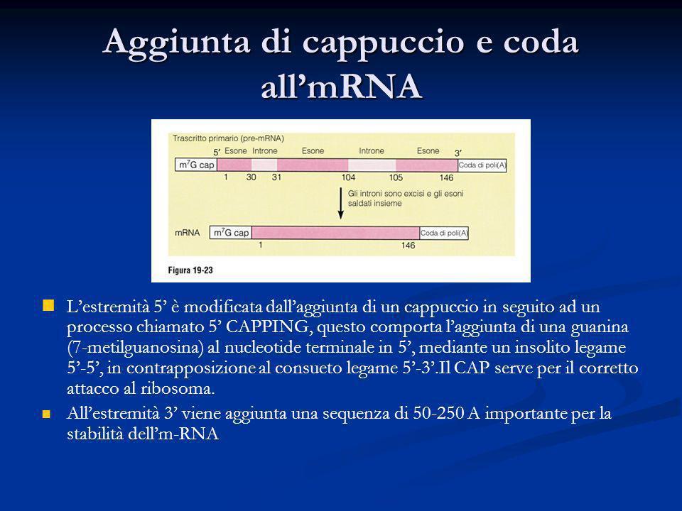 Aggiunta di cappuccio e coda allmRNA Lestremità 5 è modificata dallaggiunta di un cappuccio in seguito ad un processo chiamato 5 CAPPING, questo compo