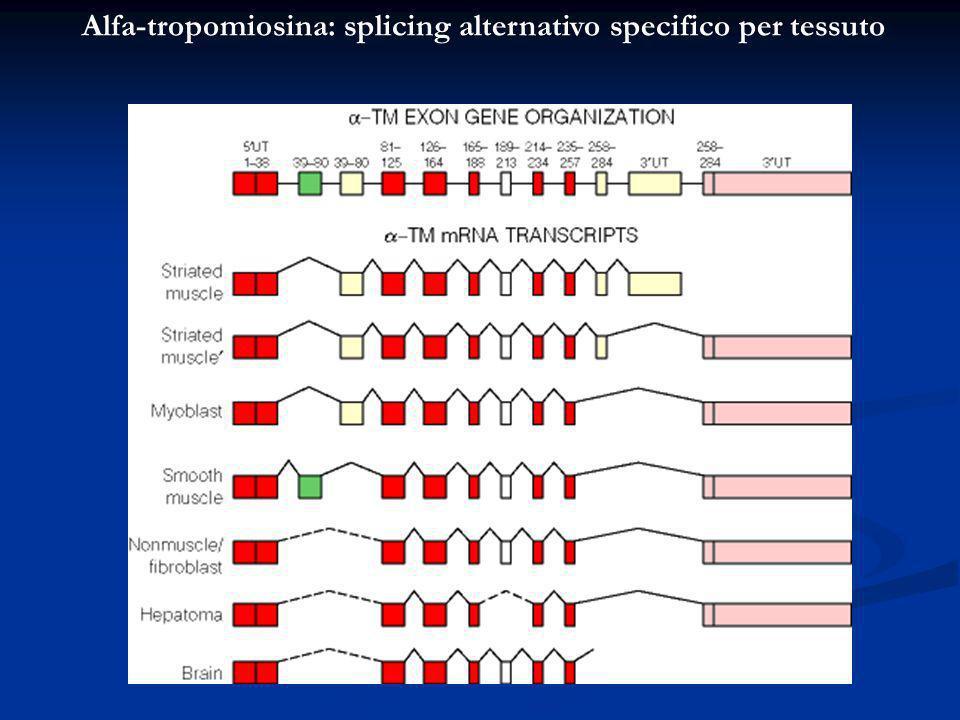Alfa-tropomiosina: splicing alternativo specifico per tessuto