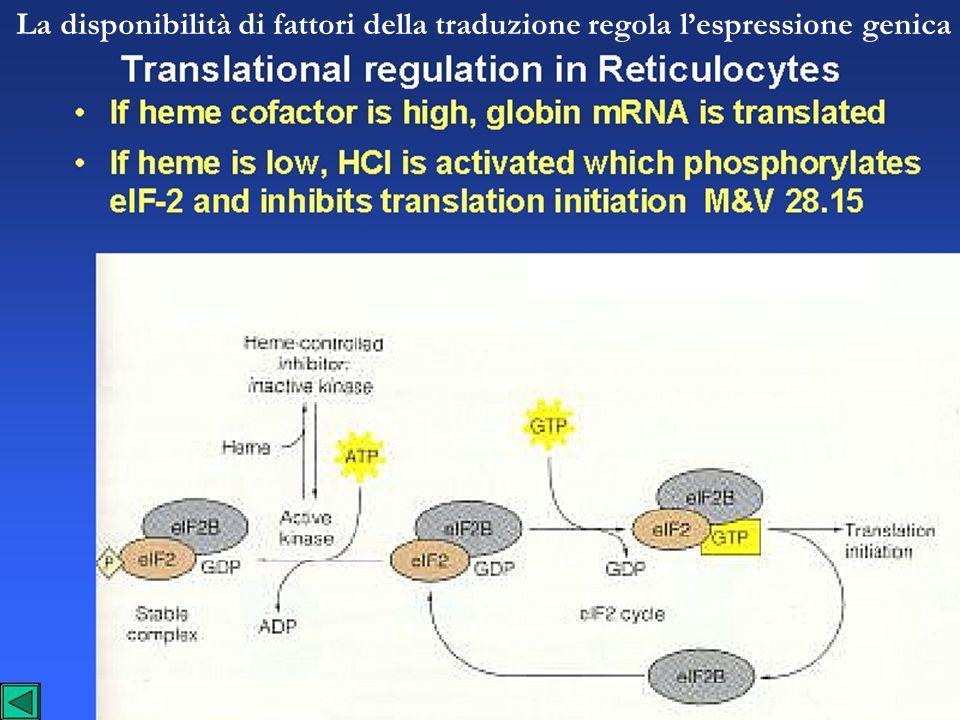 La disponibilità di fattori della traduzione regola lespressione genica