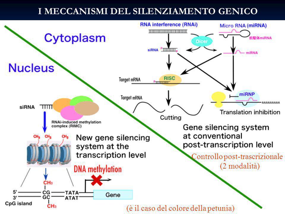 I MECCANISMI DEL SILENZIAMENTO GENICO (è il caso del colore della petunia) Controllo post-trascrizionale (2 modalità)