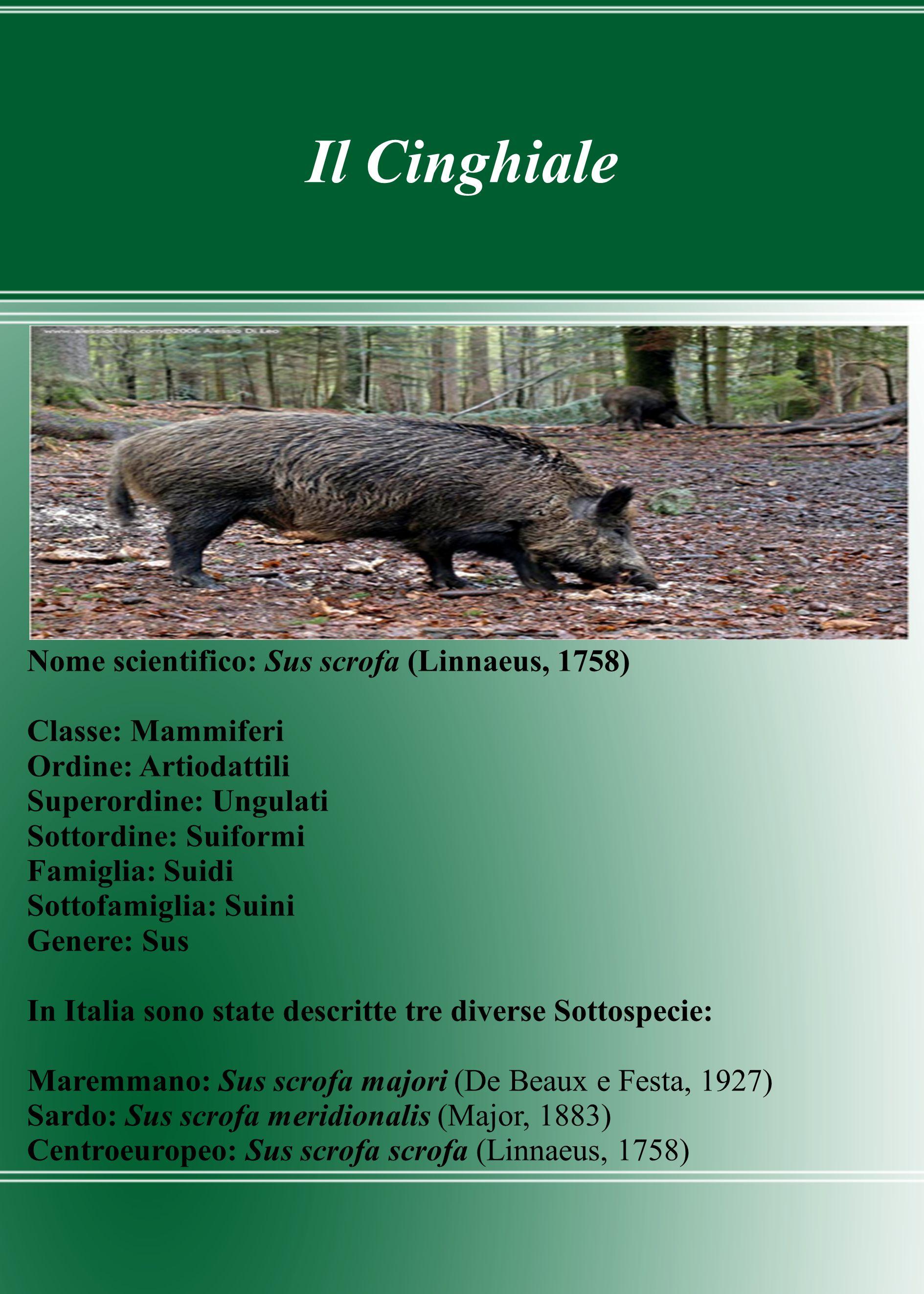 Il Cinghiale Nome scientifico: Sus scrofa (Linnaeus, 1758) Classe: Mammiferi Ordine: Artiodattili Superordine: Ungulati Sottordine: Suiformi Famiglia: