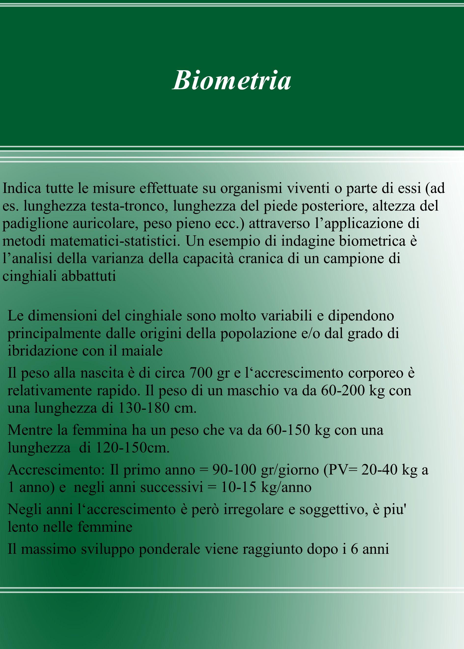 Biometria Le dimensioni del cinghiale sono molto variabili e dipendono principalmente dalle origini della popolazione e/o dal grado di ibridazione con
