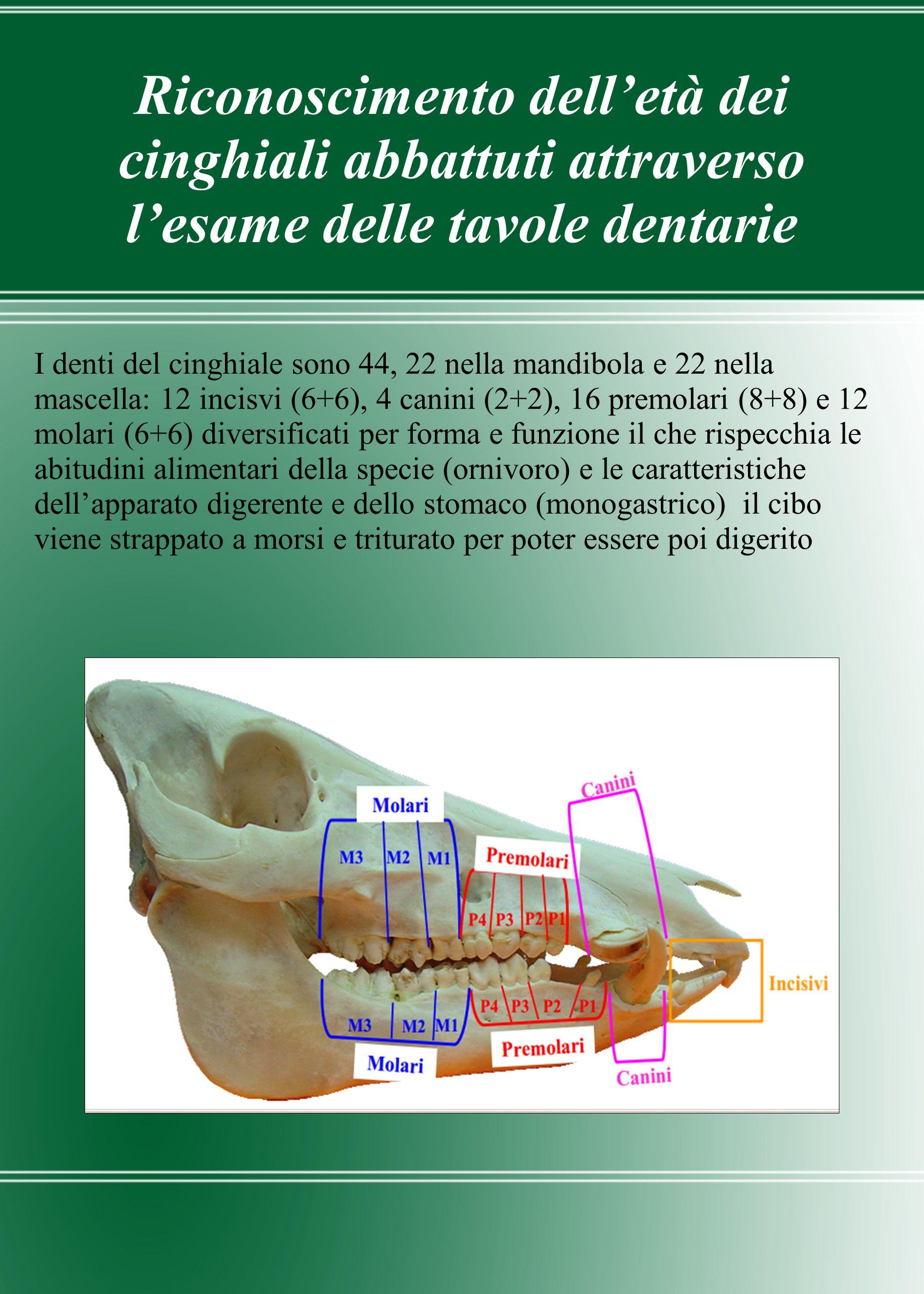 Riconoscimento delletà dei cinghiali abbattuti attraverso lesame delle tavole dentarie I denti del cinghiale sono 44, 22 nella mandibola e 22 nella ma