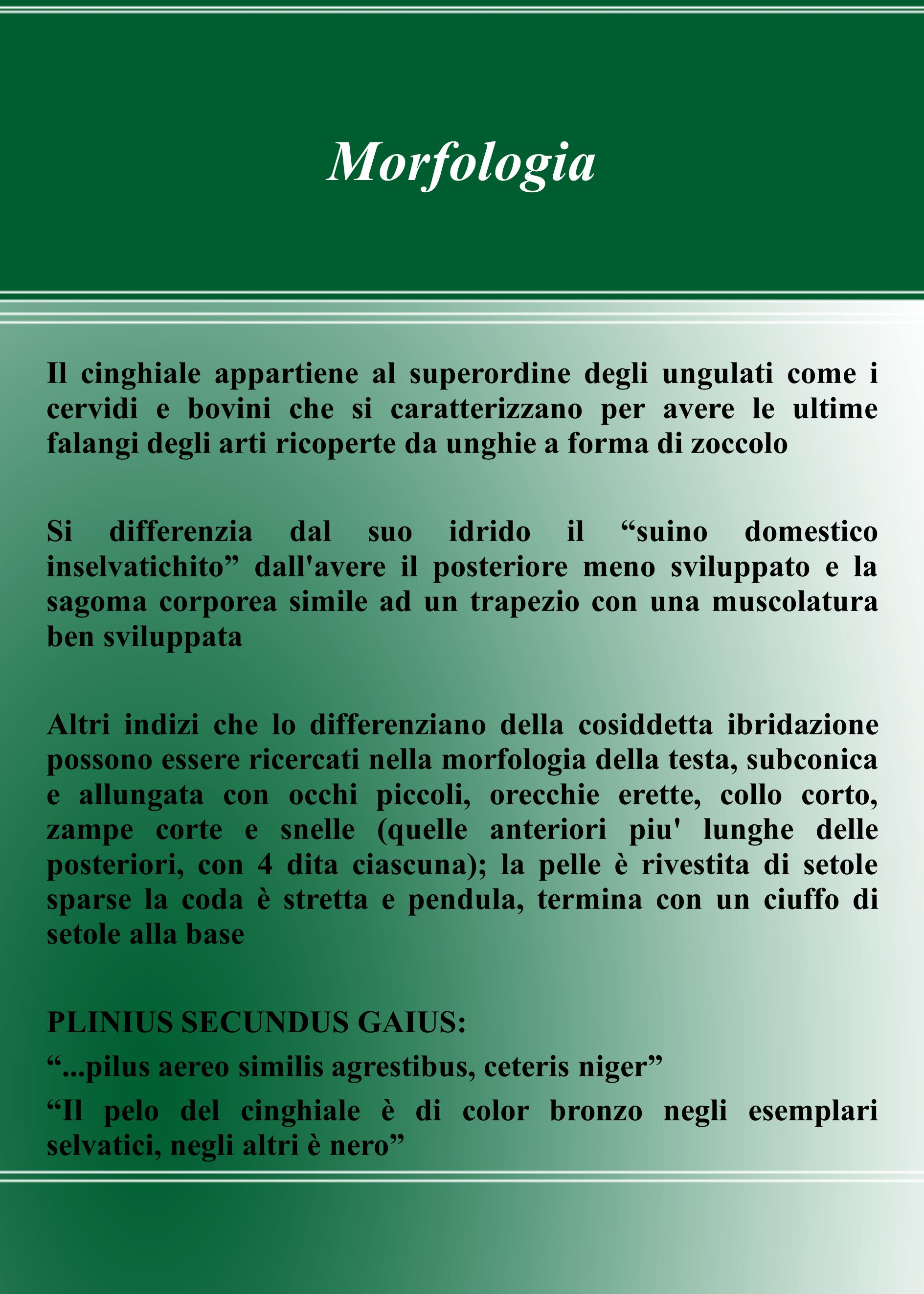 Morfologia Il cinghiale appartiene al superordine degli ungulati come i cervidi e bovini che si caratterizzano per avere le ultime falangi degli arti