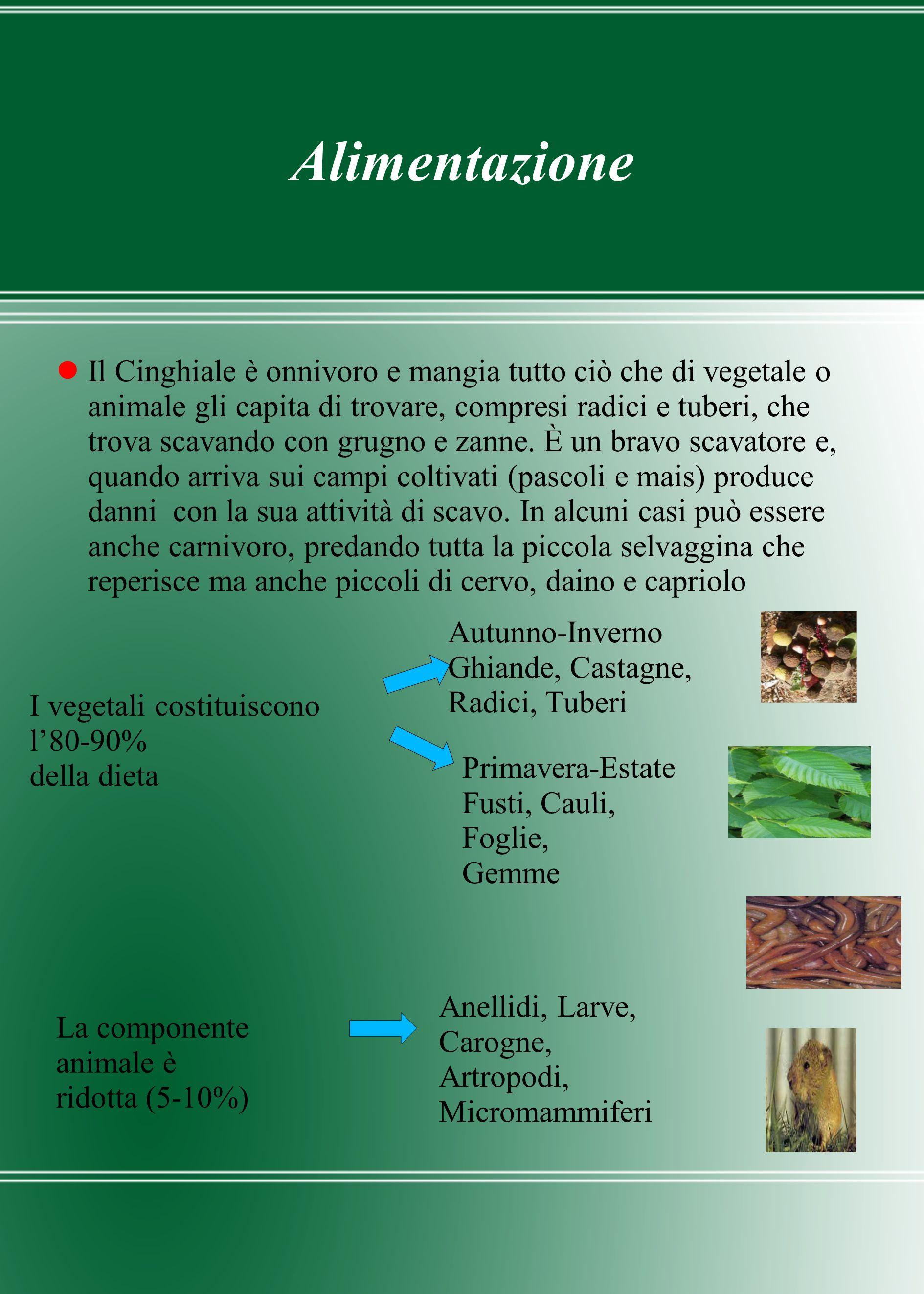 Alimentazione Il Cinghiale è onnivoro e mangia tutto ciò che di vegetale o animale gli capita di trovare, compresi radici e tuberi, che trova scavando
