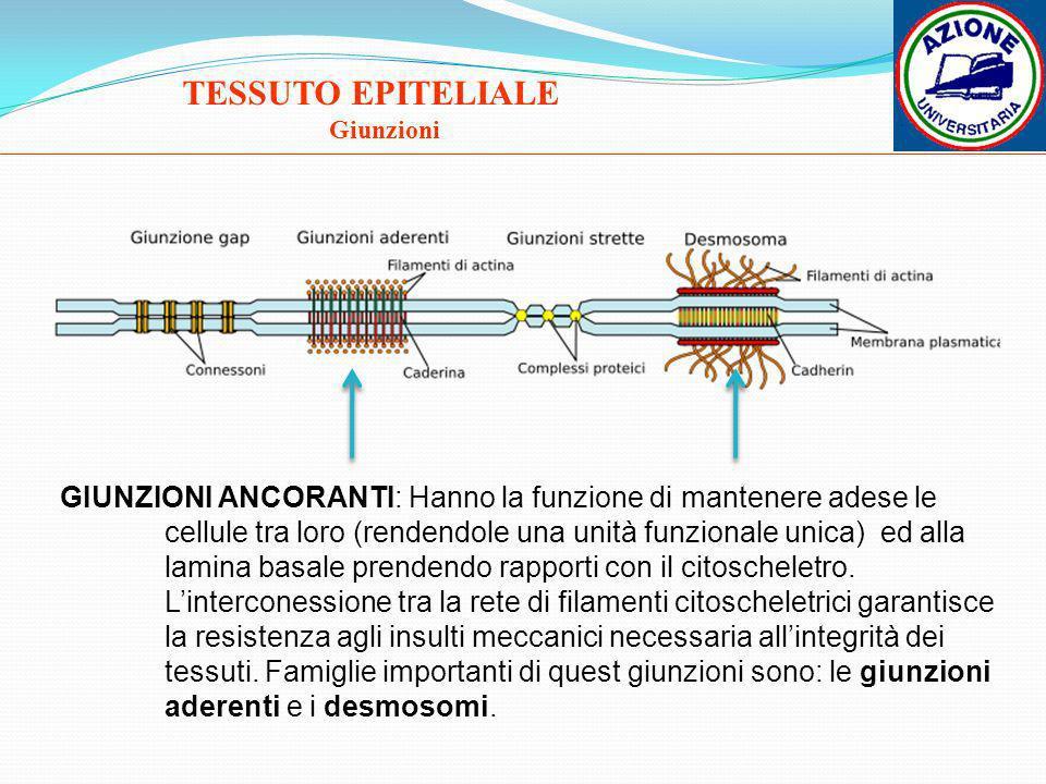 TESSUTO EPITELIALE Giunzioni GIUNZIONI ANCORANTI: Hanno la funzione di mantenere adese le cellule tra loro (rendendole una unità funzionale unica) ed