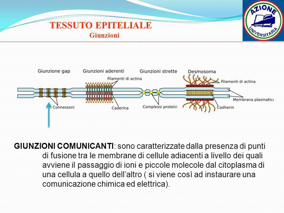 TESSUTO EPITELIALE Giunzioni GIUNZIONI COMUNICANTI: sono caratterizzate dalla presenza di punti di fusione tra le membrane di cellule adiacenti a live