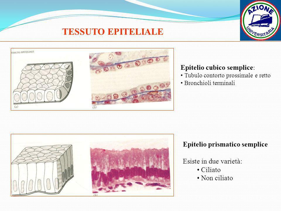 TESSUTO EPITELIALE Epitelio cubico semplice : Tubulo contorto prossimale e retto Bronchioli terminali Epitelio prismatico semplice Esiste in due varie