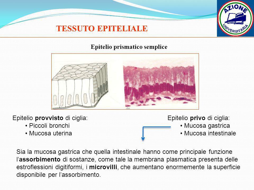 TESSUTO EPITELIALE Epitelio prismatico semplice Epitelio provvisto di ciglia: Piccoli bronchi Mucosa uterina Epitelio privo di ciglia: Mucosa gastrica