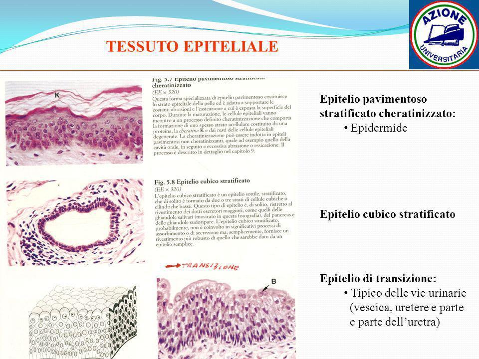 TESSUTO EPITELIALE Epitelio pavimentoso stratificato cheratinizzato: Epidermide Epitelio cubico stratificato Epitelio di transizione: Tipico delle vie