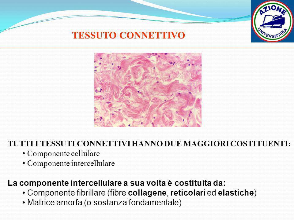 TUTTI I TESSUTI CONNETTIVI HANNO DUE MAGGIORI COSTITUENTI: Componente cellulare Componente intercellulare TESSUTO CONNETTIVO La componente intercellul