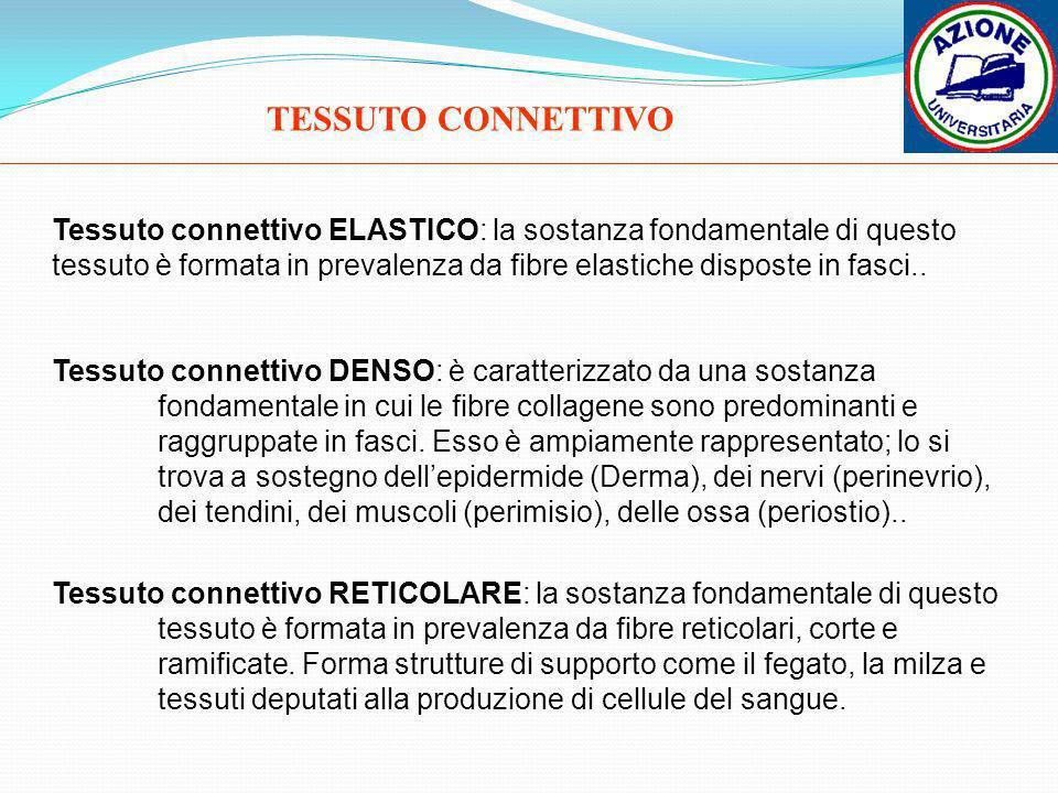 TESSUTO CONNETTIVO Tessuto connettivo ELASTICO: la sostanza fondamentale di questo tessuto è formata in prevalenza da fibre elastiche disposte in fasc